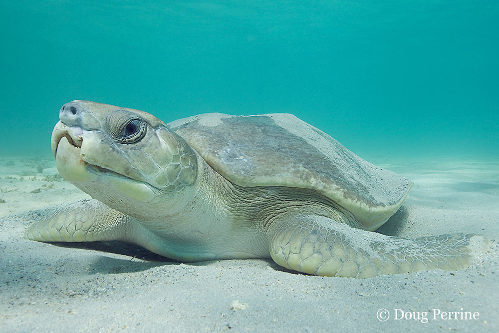 Australian flatback sea turtle, Natator depressus, endemic to Australia and southern New Guinea, with congenital deformities of beak and nostrils, Australia; such birth defects are common in hatchlings, but they rarely survive to adulthood, as this one has