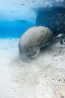 Florida manatee, Trichechus manatus latirostris, a subspecies of the West Indian manatee, endangered. A manatee has its snout moving around in the sand . Researches theorize this behavior is sieving through sand to get minerals or nourishment , or it could be scrubbing its mouth or teeth, or maybe it just feels good as the snout is very sensitive. Fish, bream, Lepomis spp. swim around the manatee. Vertical orientation with blue spring water. Three Sisters Springs, Crystal River National Wildlife Refuge, Kings Bay, Crystal River, Citrus County, Florida USA.