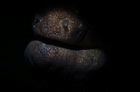 Snooted light shot of a common morays mouth.