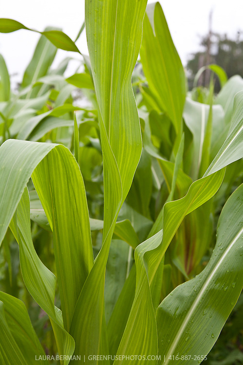 Large broad leave sof the corn plant. (Zea mays)