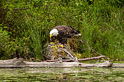An American Bald Eagle feeds on a fish caught in Trout Lake in the Northwoods village of Boulder Junction, Wisconsin.