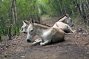 A small herd of wild donkey's rests on the Lind Point Trail in the Virgin Islands National Park, St. John, USVI.