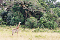Giraffe on the edges of a forest patch, Western Shores, KwaZulu Natal, South Africa