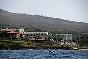 Humpback Whale, Whale, Hotels, Hotel, Maui, Hawaii
