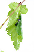 Birch leaf-roller (Deporaus betulae) , The Biosphere Reserve 'Niedersächsische Elbtalaue' (Lower Saxonian Elbe Valley), Germany (sequence 6/8) | Der Birkenblattroller oder Trichterwickler (Deporaus betulae) rollt, im Gegensatz zum Haselblattroller, das Blatt längs, und nicht quer zur Mittelrippe ein.