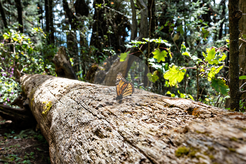 A monarch butterfly rests on a log at the Sierra Chincua Biosphere Reserve January 20, 2020 near Angangueo, Michoacan, Mexico. The monarch butterfly migration is a phenomenon across North America, where the butterflies migrates each autumn to overwintering sites in Central Mexico.