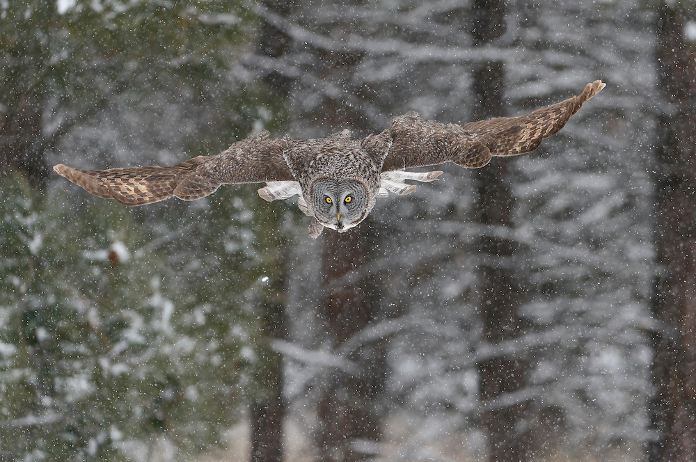 Great Gray Owl (Strix nebulosa) sails off a perch to catch a meadow vole deep under the snow, Montana