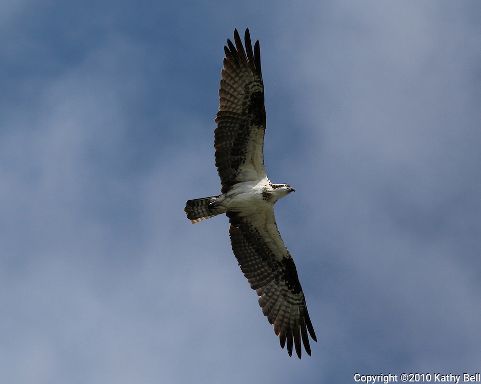 Image of an osprey