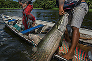 Maraã, Brazil - October 28, 2014: A fisherman catches a pirarucu as another uses a harpoon while fishing it at Lago do Macaco, or Monkey's Lake, in Maraã, western Amazon region. CREDIT: Photo by Mauricio Lima for The New York Times
