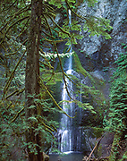 Marymere Falls with foreground tree, temperate rainforest, Olympic National Park, © 1996 David A. Ponton  [From 4x5 original]