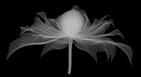 X-ray image of a 'Diamantina' clematis flower, lateral view (Clematis 'Diamantina', white on black) by Jim Wehtje, specialist in x-ray art and design images.