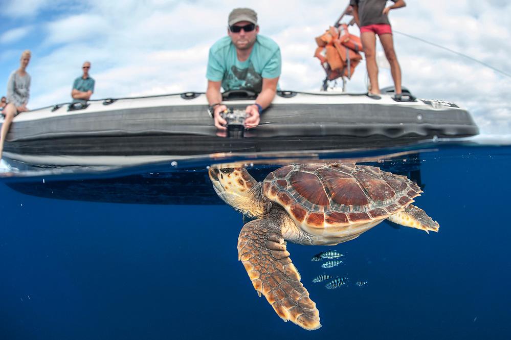 A Loggerhead Sea Turtle Juvenile, Caretta caretta, swims past a dive boat in the open ocean offshore Pico, Azores, North Atlantic Ocean.