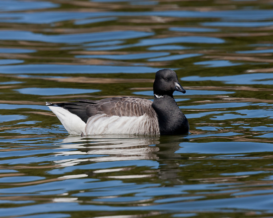 The brant or brent goose (Branta bernicla) is a species of goose of the genus Branta. The black brant is an American subspecies.