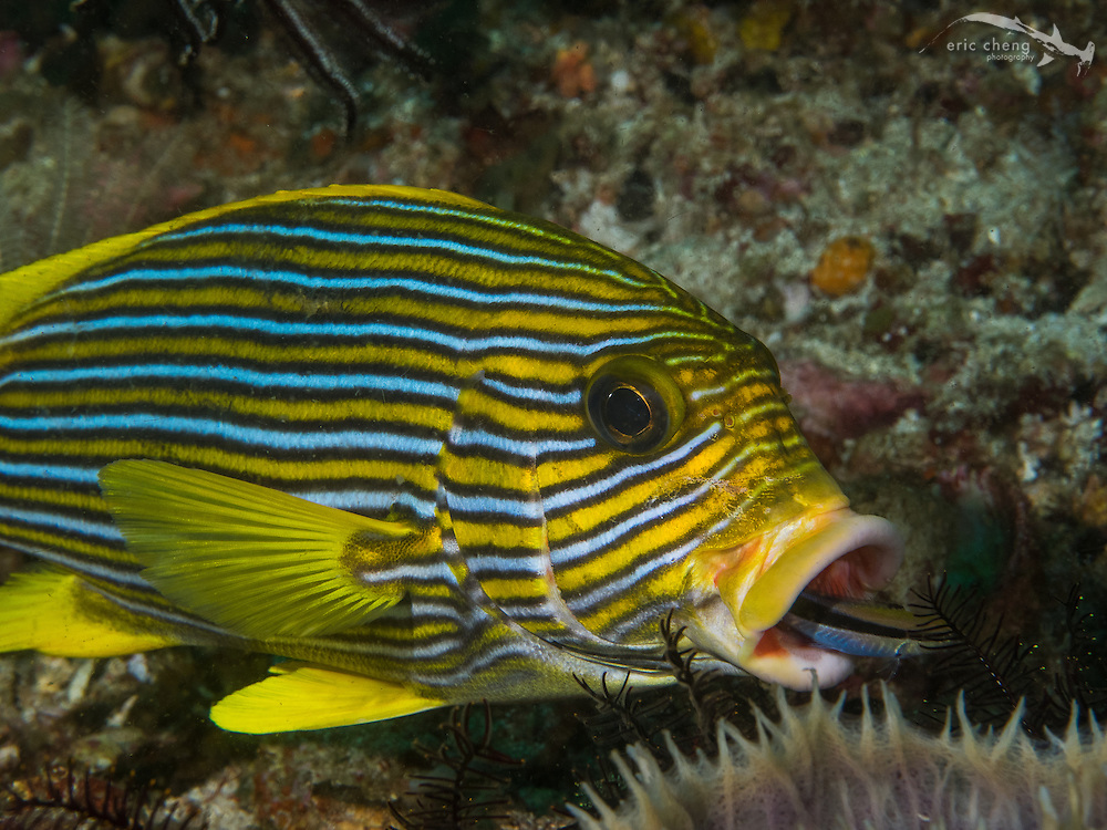 A ribbon sweetlips (Plectorhinchus polytaenia) is cleaned by a bluestreak cleaner wrasse (Labroides dimidadus), which swims into its mouth looking for parasites. Cannibal Rock, Horseshoe Bay, Komodo National Park, Indonesia.