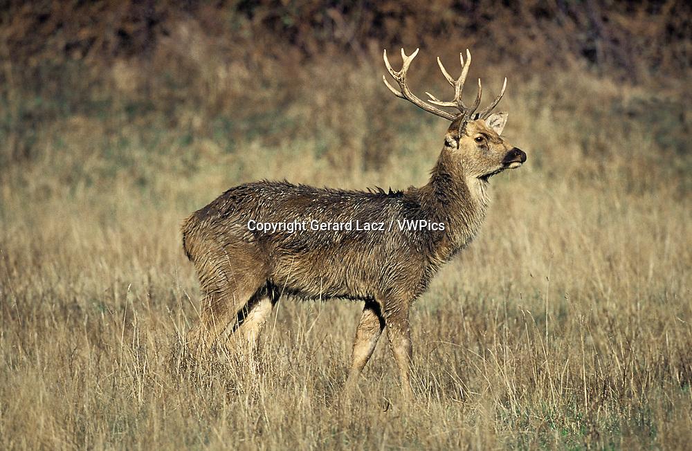 BARASINGHA DEER OR SWAMP DEER cervus duvauceli, MALE STANDING IN DRY GRASS