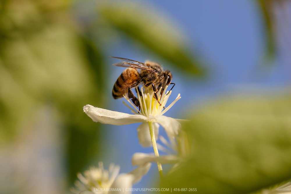 A honeybee on a clematis flower (Apis mellifera)