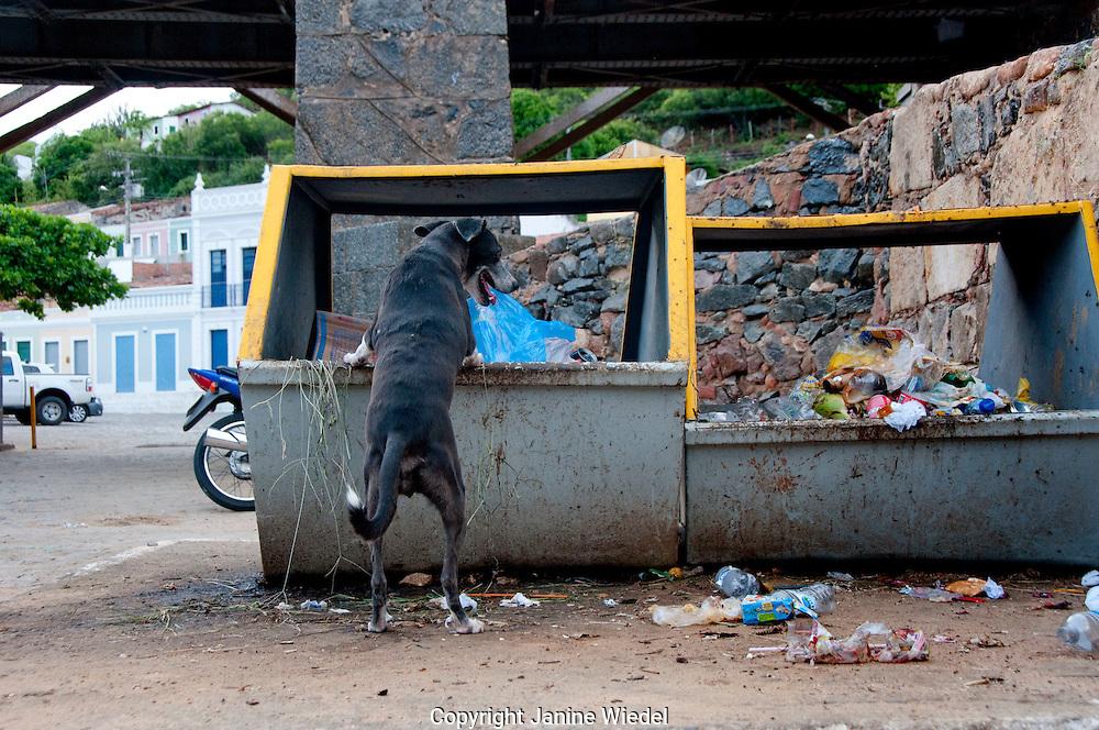 Dog scavenging in garbage skip Village of Pirhanas Algoas Brazil