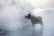 Winter can be both brutal and beautiful in the Greater Yellowstone Ecosystem.  On this subzero morning, a young bull moose, searching for forage, has his eye on some frost-covered willows. Although there's not much nutritional value in this dry shrub, there will hopefully be enough food available to sustain him through the long winter.