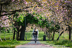 © Licensed to London News Pictures. 17/05/2016. Harrogate UK. A young lady walks through the Cherry blossom tree's on the Stray in Harrogate today as Yorkshire see's another fine weather day. Photo credit: Andrew McCaren/LNP