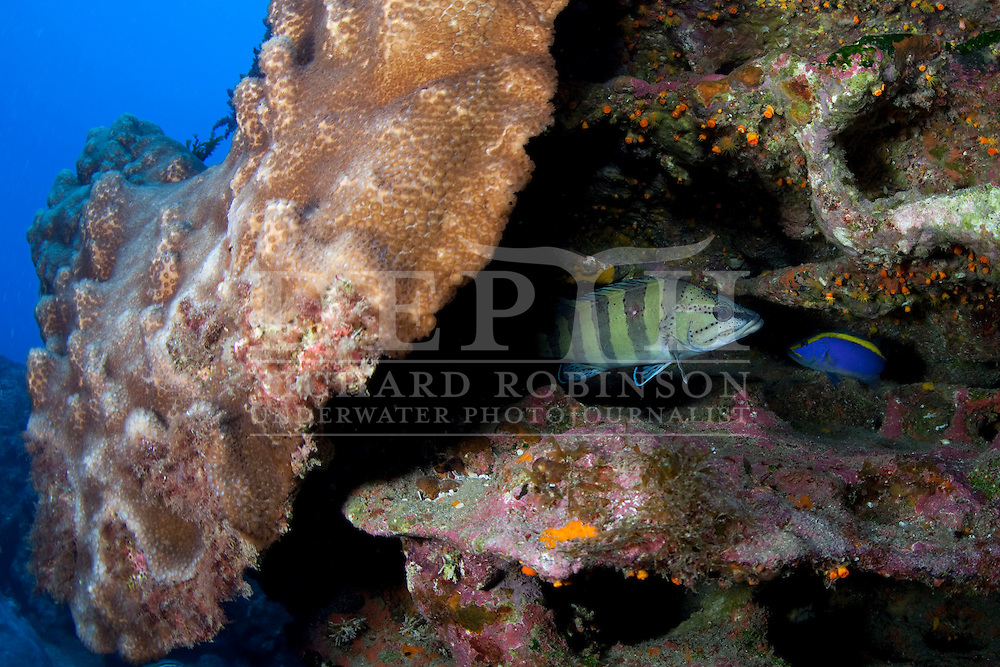 A Yellow-banded perch (Acanthistius cinctus) and right a Goldribbon grouper (Aulacocephalus temmincki) hide  under a ledge polyps at the Kermadec Islands, New Zealand's northern most territory in the South Pacific Ocean.Wednesday 13 April 2011.Photograph Richard Robinson © 2011.Dive Number: 331.Dive Buddy: Ian Skipworth..Site: Southern Harbour, Western Side of North Meyer Island in the Kermadec Islands..Temperature:  22.5 Degrees Celsius..Rebreather : Inspiration Vision. Total Time On Unit: 152:17 hh:mm.Maximum Depth: 28.9 meters..Bottom Time: 69 minutes..Bottom Time to Date: 20,839 minutes..Cumulative Time: 20,908 minutes.