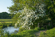 Common Hawthorn bush in blossom and public footpath track by The River Windrush in Spring / Summer at Burford in the Cotswolds, UK