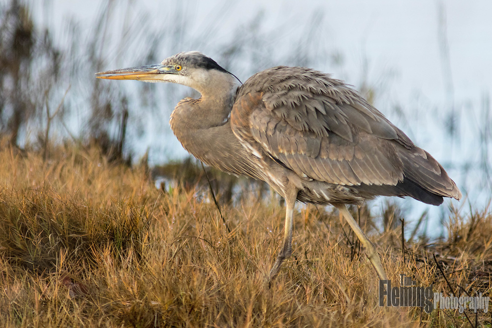 Great blue heron stalking prey in Shollenberger Park, Petaluma, CA