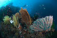 Sea Fans and Diver in background