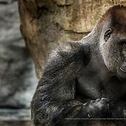 Gorilla gorilla gorilla.