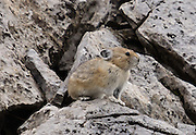 A pika (in genus Ochotona, the only member of the Ochotonidae family) hops on limestone rocks along Chester Lake Trail in Peter Lougheed Provincial Park, part of Kananaskis Country, in the Canadian Rockies west of Calgary, Alberta, Canada.