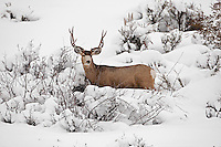 2017 in Utah has seen snow storm after snow storm and that is driving the Mule Deer lower and lower into their winter range and this becomes one of the best times to view the deer that you might not see any other time of year.