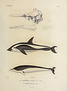 hand coloured sketched of short-beaked common dolphin (Delphinus delphis Here as Delphinus cruiger]) Top. and southern right whale dolphin (Lissodelphis peronii [Here as Delph peronii]) Bottom. From the book 'Voyage dans l'Amérique Méridionale' [Journey to South America: (Brazil, the eastern republic of Uruguay, the Argentine Republic, Patagonia, the republic of Chile, the republic of Bolivia, the republic of Peru), executed during the years 1826 - 1833] 4th volume By: Orbigny, Alcide Dessalines d', d'Orbigny, 1802-1857; Montagne, Jean François Camille, 1784-1866; Martius, Karl Friedrich Philipp von, 1794-1868 Published Paris :Chez Pitois-Levrault et c.e ... ;1835-1847