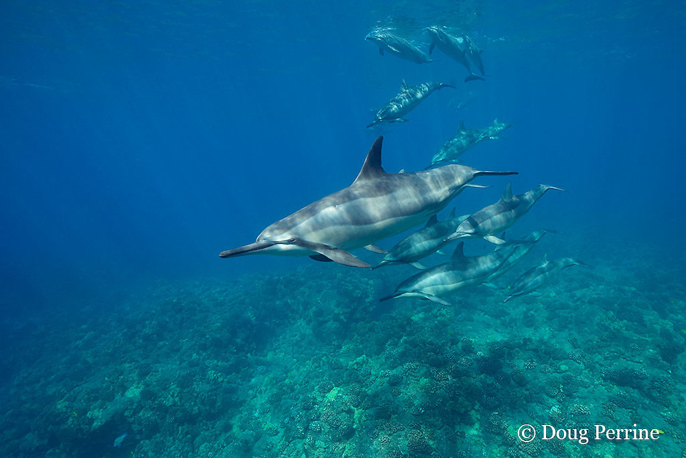 pod of Hawaiian spinner dolphins or Gray's spinner dolphin, Stenella longirostris longirostris, swimming over coral reef, Kona, Hawaii ( the Big Island ), Central Pacific Ocean