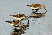 In breeding plumage three in a row