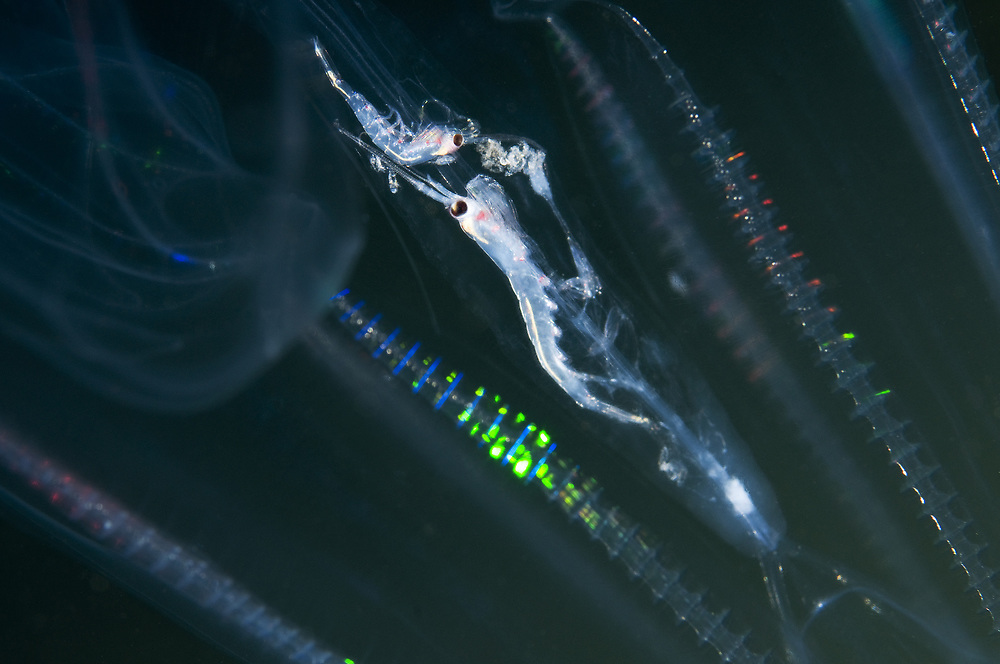 Lobed Comb Jelly (Bolinopsis infundibulum) eating Northern krill (Meganyctiphanes norvegica). Location: Stavanger, Norway
