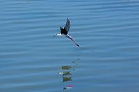 Cavaliere d'Italia in Sardegna, Parco di Molentargius Foto di uccelli, fauna , natura Foto natura, oasi natualistica di molentargius