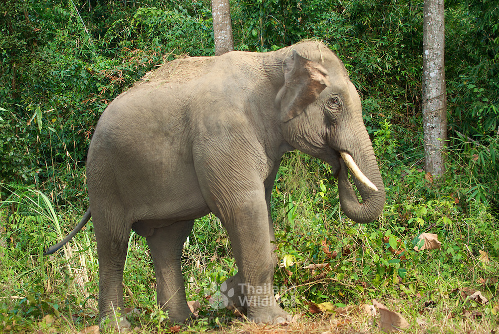 Wild male asian elephant, Elephas maximus, caught in a camera trap in the Dong Phayayen - Khao Yai World Heritage Site, Thailand.