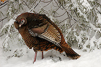 A female wild turkey (Meleagris gallopavo in the snow..Lexington, MA, USA.