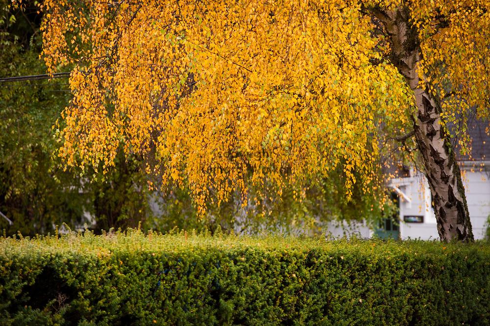 2017 NOVEMBER 20 - Autumn leaves on tree in West Seattle, WA, USA. By Richard Walker