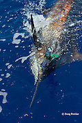 Pacific blue marlin, Makaira nigricans or Makaira mazara, caught on lure during the Hawaii International Billfish Tournament, Kailua Kona, Hawaii ( Central Pacific Ocean )