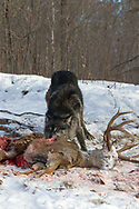 Black wolf feeding on deer carcass in wooded winter habitat.