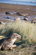 Donna Nook, Lincolnshire, UK – Nov 16 : A watchful grey seal mother on guard in the sand dunes on 16 Nov 2016 at Donna Nook Seal Sanctuary