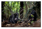 Crested black macaques feeding in the dark forest of Tangkoko Nature Reserve, northern Sulawesi, Indonesia. Nikon D850, 70-200mm @ 125mm, f4, 1/160sec, ISO2000, SB900 fill-in flash