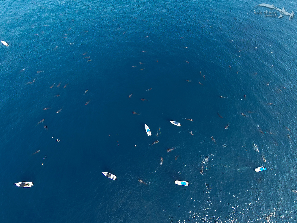 Whale sharks (Rhincodon typus) at the largest known aggregation in the world at Isla Mujeres, Mexico