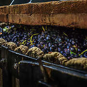 Press-house workers at Champagne Mumm, putting Pinot Noir grapes into the pressing machine.