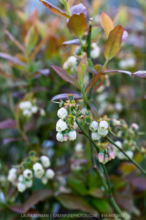 Patriot highbush blueberry (Vaccinium corymbosum 'Patriot')