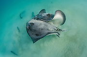 Diamond Stingrays (Dasyatis brevis) fighting<br /> GALAPAGOS ISLANDS,<br /> Ecuador, South America
