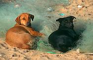 PRT, Portugal: Streunender Hund, Haushund (Canis lupus familiaris), ein Paar liegt auf einem altem Fischernetz am Strand, blicken in die gleiche Richtung, Quarteira, Algarve | PRT, Portugal: Stray dog, domestic dog (Canis lupus familiaris), a couple laying on an old fishnet at the beach, looking in the same directions, Quarteira, Algarve |