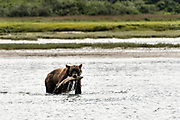 A grizzly bear boar catches chum salmon in the lower lagoon at the McNeil River State Game Sanctuary on the Kenai Peninsula, Alaska. The remote site is accessed only with a special permit and is the world's largest seasonal population of brown bears.