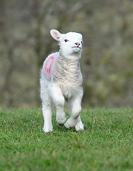 © Licensed to London News Pictures. 11/03/2016. Sedbergh, UK. A lamb runs in the spring sunshine near Sedbergh, Cumbria. Photo credit : Anna Gowthorpe/LNP