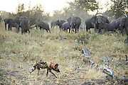 African Wild Dog<br /> Lycaon pictus<br /> Elephant herd advances on wild dog after smelling blood from the pack's warthog kill<br /> Northern Botswana, Africa<br /> *Endangered species